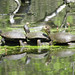 three_western_pond_turtles