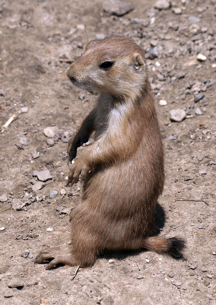 Prarie Dog For Sale Cap Coral