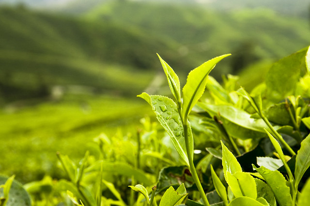 spectral analysis of chloroplast pigements tea field