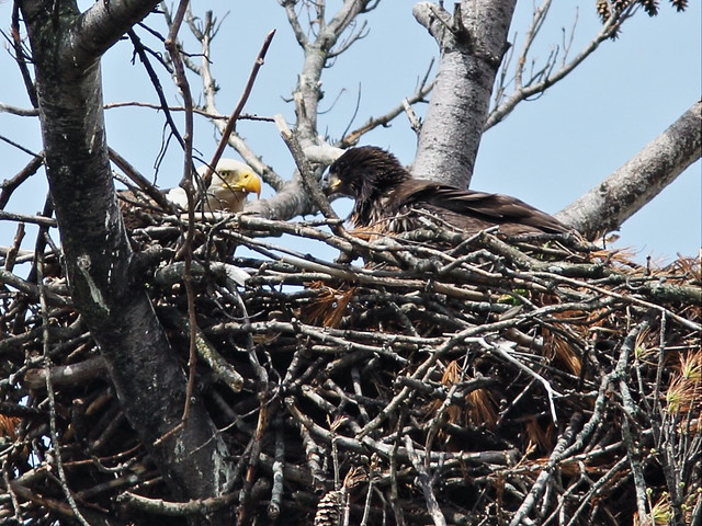 Bald Eagle and eaglet 20150517