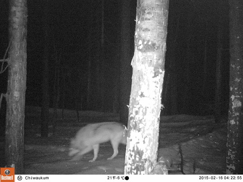 Chiwaukum Wolf, Feb 2015_3. All Rights Reserved CNW and CWMP