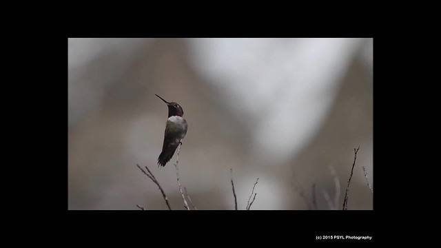 Broad-tailed Hummingbirds fighting for territory (Slow-motion)