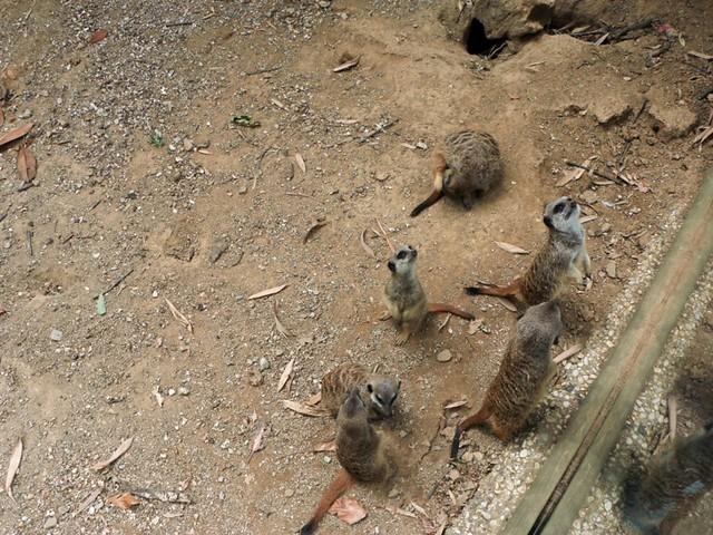 Zoo di Pistoia: i (dolcissimi) suricati
