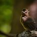 Fledging Northern Cardinal Chick (Cardinalis cardinalis) 0664