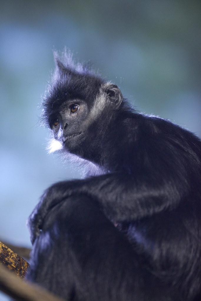 Francois Langur Lincoln Park Zoo Flickr