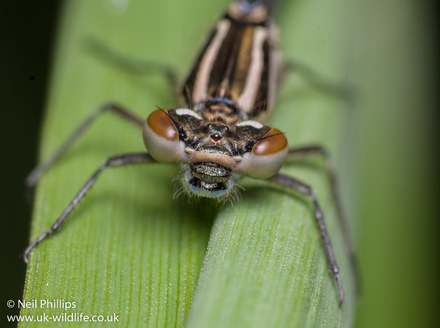 Azure damselfly close up
