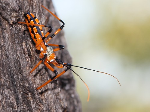 Assassin bug uid 1859 | by Malcolm NQ