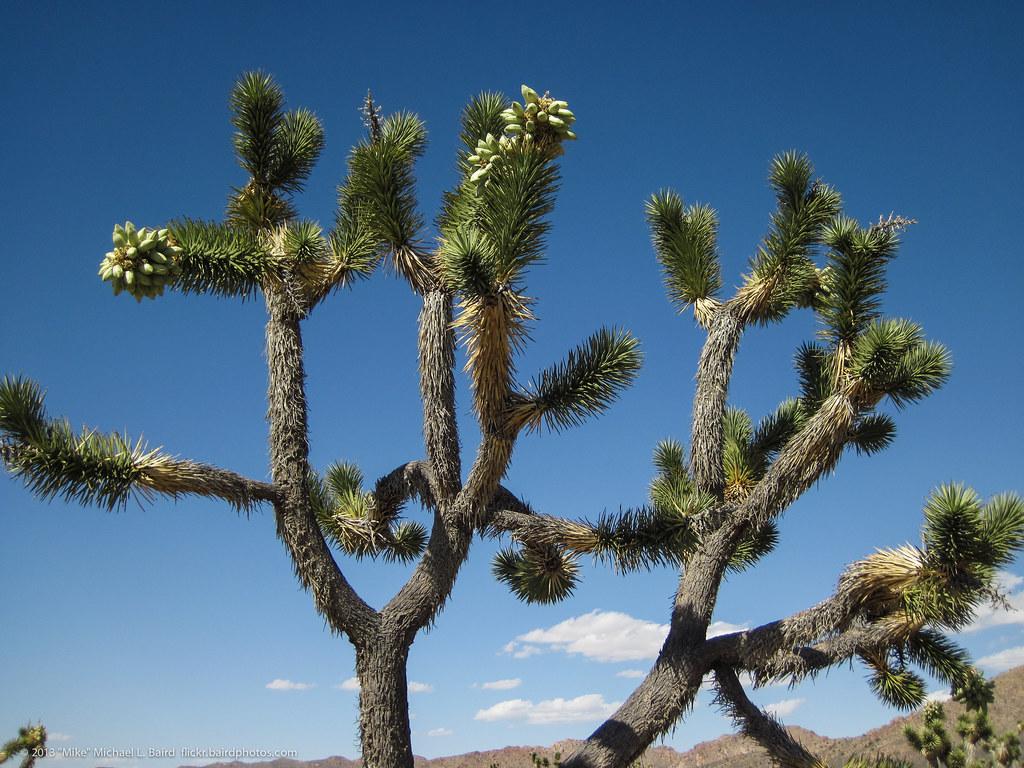 Desert Cactus flowers. Teutonia Peak Trail has the best Jo ...   Name Cactus Palm Tree