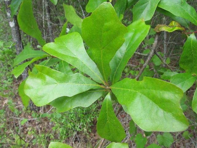 Quercus nigra  Water Oak Quercus Nigra
