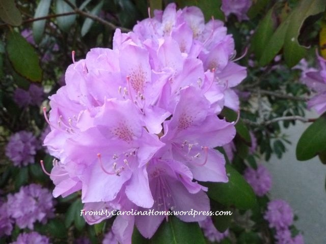 Rhododendrons purple 4