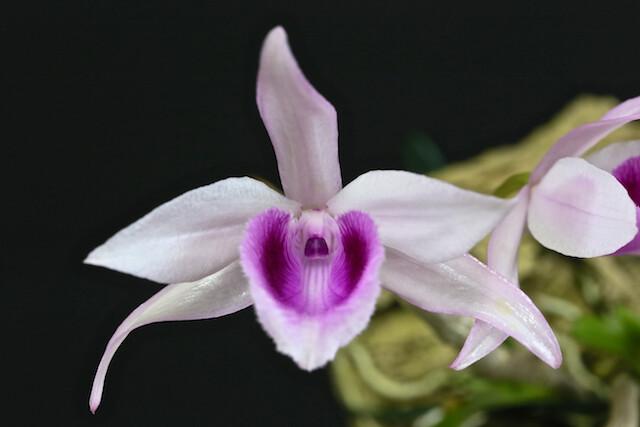Dendrobium anosmum var huttonii 17601603032_59b3e78953_z