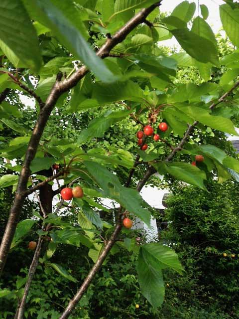 Cerisier Du Jardin