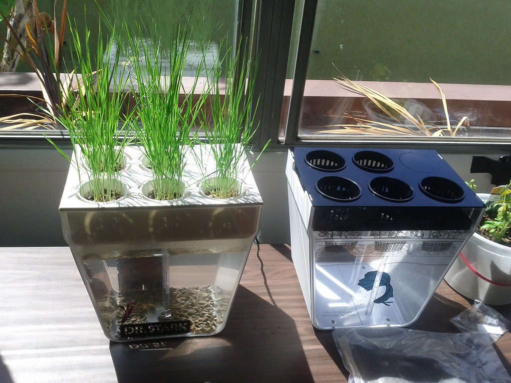 Wheat grass about to get a haircut after two weeks flickr for Betta fish aquaponics