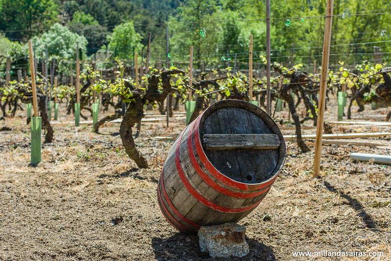 Recorriendo las viñas de las bodegas Castro Rei