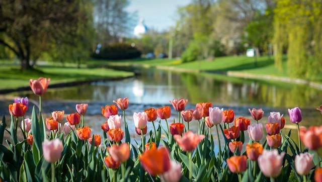 Ducks and Tulips : May 8, 2015