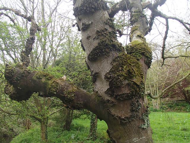 alder tree trunk