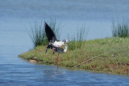 Échasse blancheHimantopus himantopus Black-winged Stilt1632