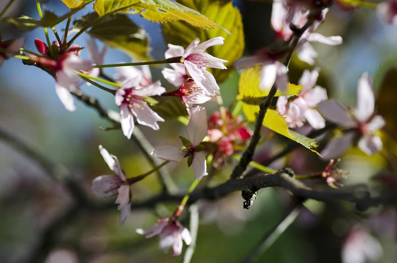 kirsikka6