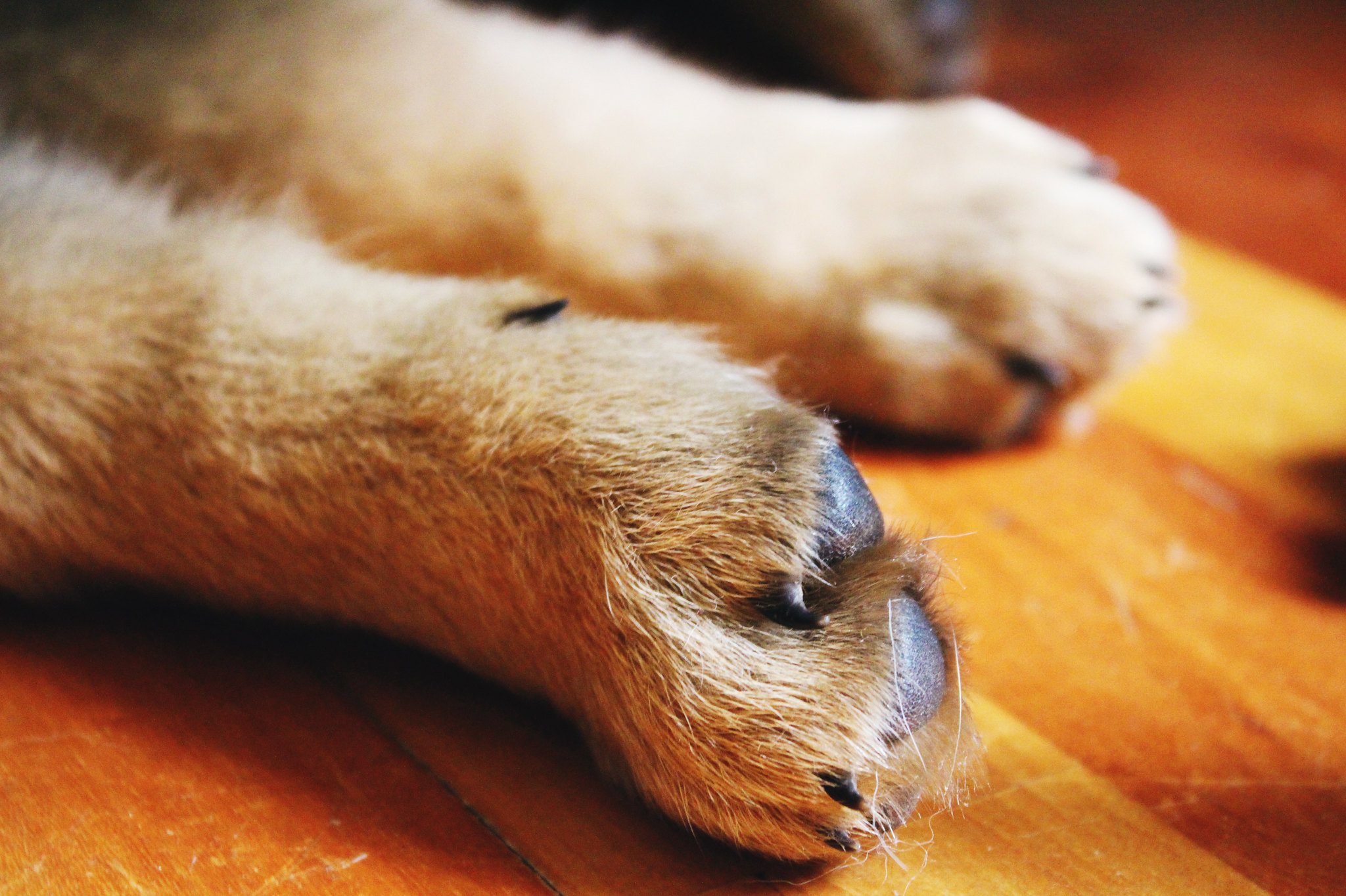 german-shepherd-puppy-paws
