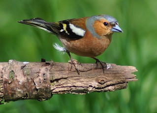 Chaffinch.-Fringilla Coellebs ( Male ) | by Zooman2009