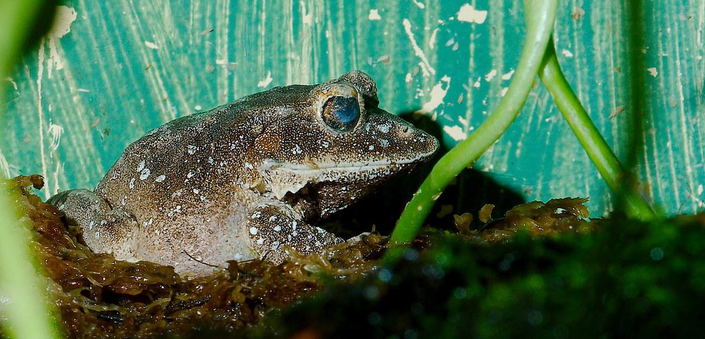 Solomon Island Leaf Frog (Ceratobatrachus guentheri)