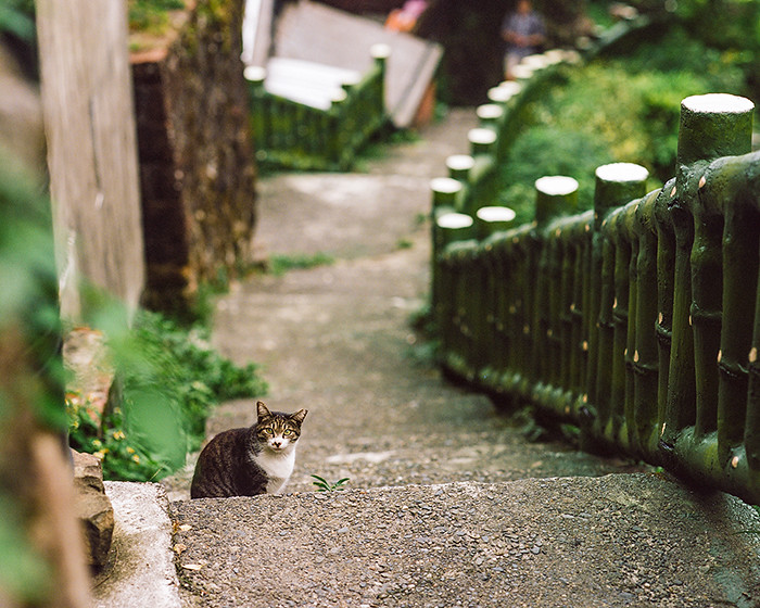 © 2016. One of the many, many cats we saw roaming the streets of Jiufen. Monday, Sept. 5, 2016. Portra 400+2, Pentax 6x7.