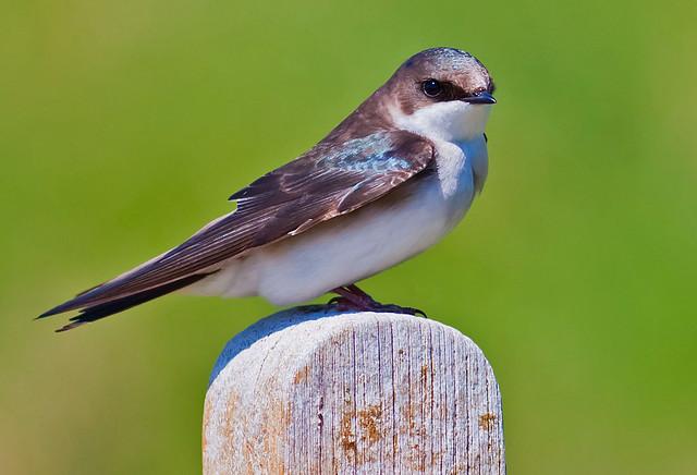 Female Tree Swallow 40