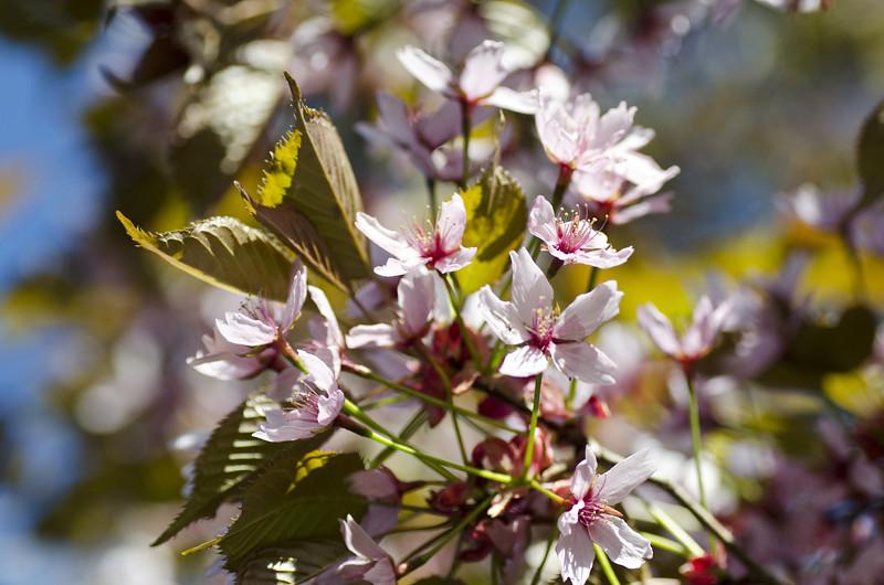 kirsikka11
