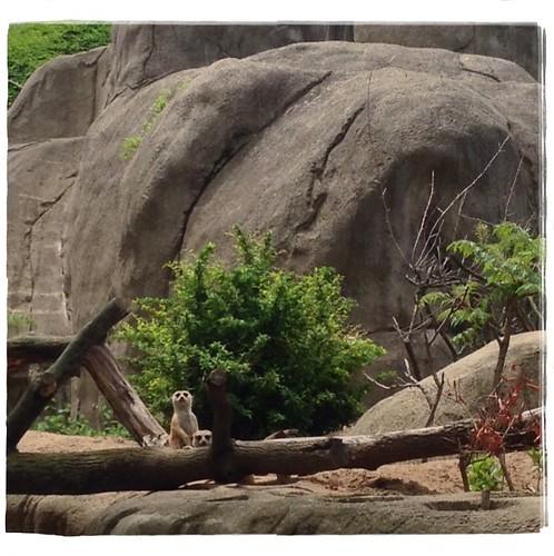 Meerkats at the Toledo Zoo