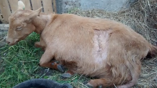 goat caesarean May 15 2