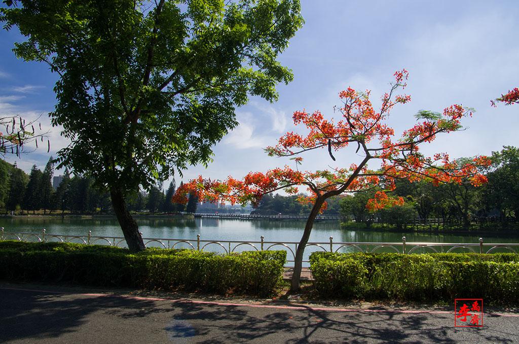 澄清湖鳳凰花