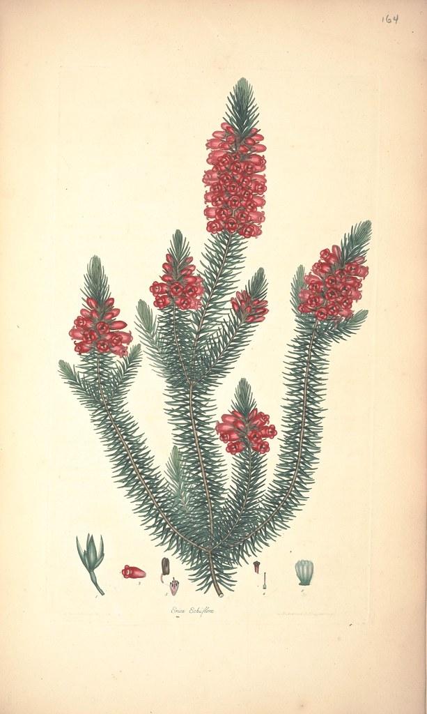 Erica echiiflora