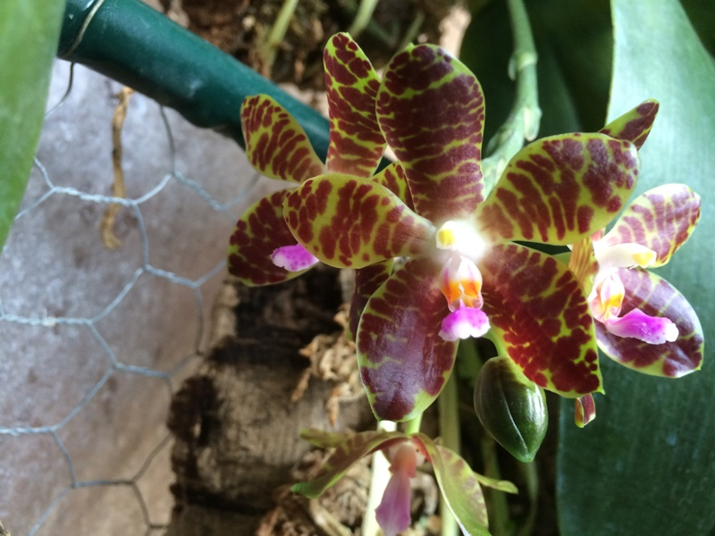 Phalaenopsis Jade Gold 17293570158_aeb8c81b1a_o