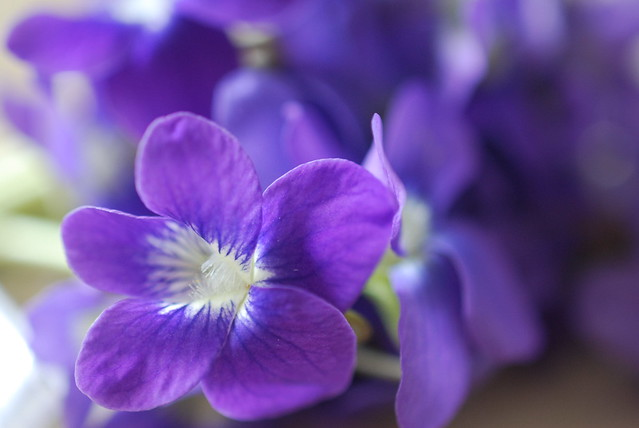 Deep purple violets