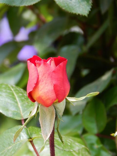 бутон розы и рассказ про любовь | horoshogromko.ru