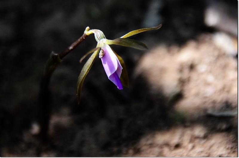 紫花脈葉蘭 (1)