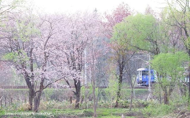 桜とサロベツ