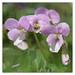 Viola jooi - Rumänisches Veilchen - Transylvania Violet