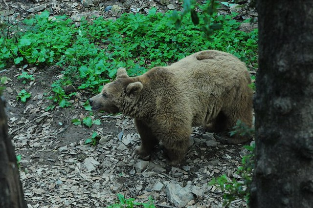 HIMALAYAN BROWN BEAR | Flickr - Photo Sharing! Himalayan Brown Bear Yeti