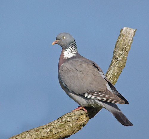 Wood Pigeon | by Alistair Prentice.