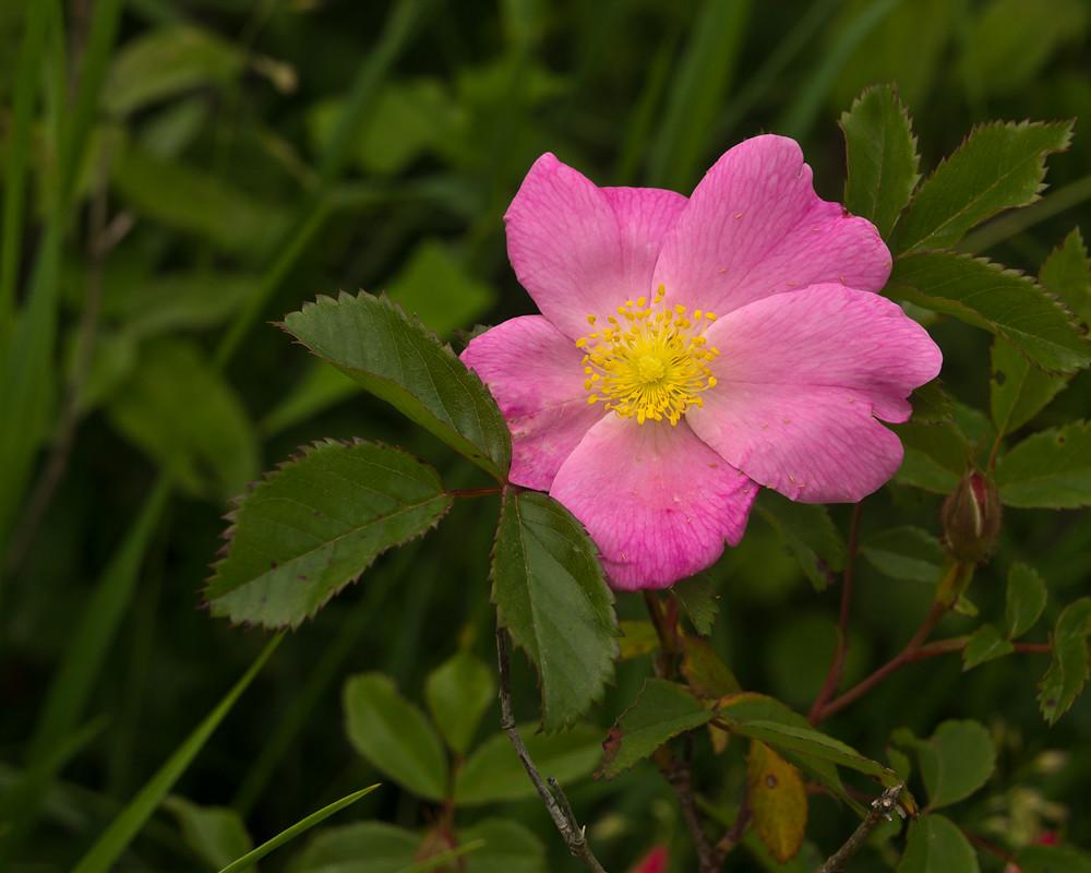 Wild Prairie Rose | Iowa's state flower | Ray Kasal | Flickr