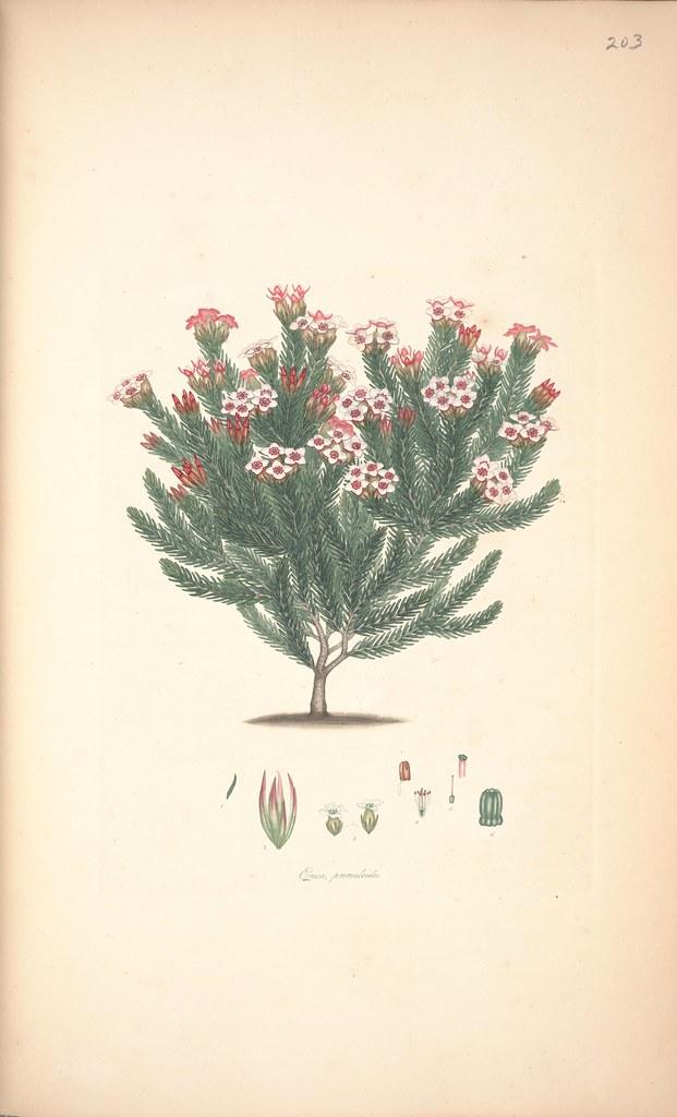 Erica primuloides