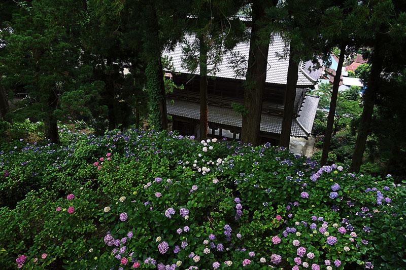 富士川町 あじさい寺、妙法寺 山門と紫陽花