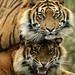 Sumatraanse tijgers       -  Gio en Vanni -