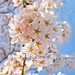 Cherry blossoms in bunches