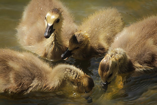 Four Goslings Grazing | by Gator 5