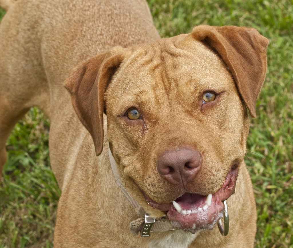 Mixed breed shelter dog, mastiff, pit bull, | Flickr - Photo Sharing!