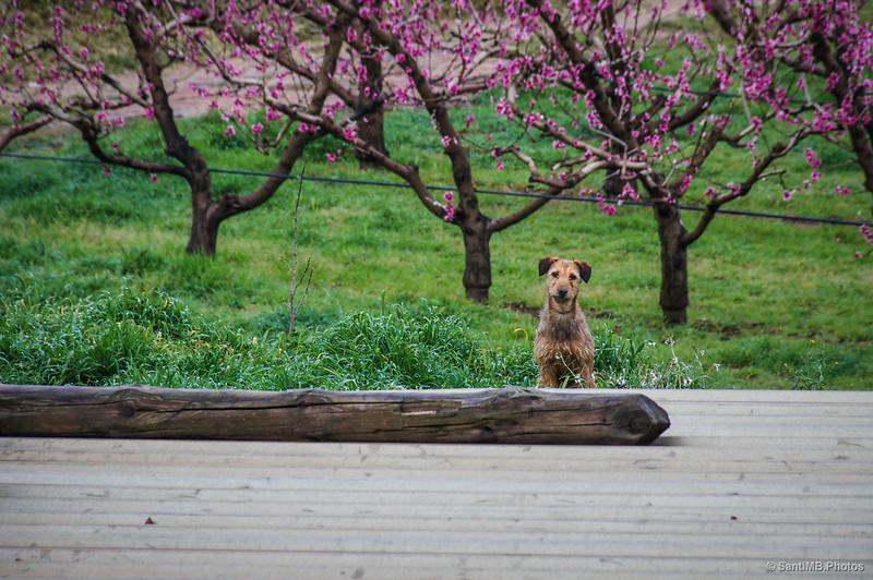 El perro de la Sénia del Vent