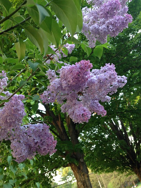 Lilacs full bloom