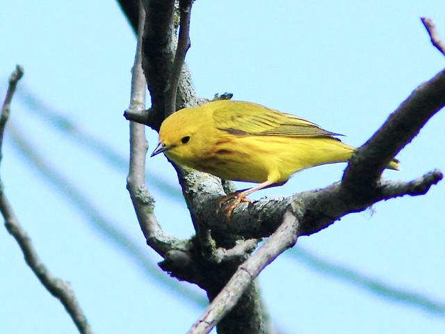 Yellow Warbler 3-20150518